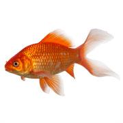 Fische for Gartenteichfische shop