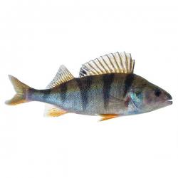 Gartenteichfische fische for Koi und goldfische