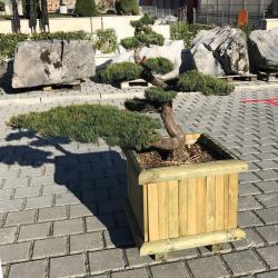 Gartenbonsai Mädchenkiefer, Pinus Pentaphilla Grösse H: 90cm