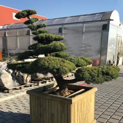 Gartenbonsai Mädchenkiefer, Pinus Pentaphilla HJ26 Grösse H: 150cm