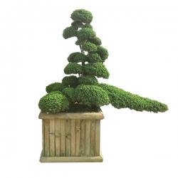 Gartenbonsai Wacholder, Juniperus Hitoigawa Grösse H: 135cm