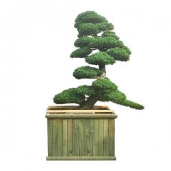 Gartenbonsai Mädchenkiefer, Pinus Pentaphilla Grösse H: 240cm